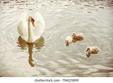 White mother swan swim with her youngs. Seasonal natural scene. Cycle of nature. Yellow photo filter.