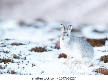 White mountain hare (lepus timidus).  These hares are native to the British Isles.  The hares in snow covered mountain cairngorms.