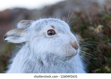 White mountain hare (lepus timidus) in Scottish highland. These hare change their fur colour, white in winter and brown during summer.