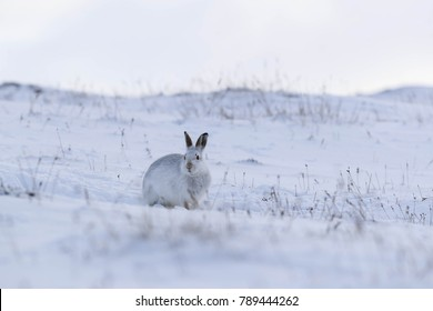 white mountain hare, lepus timidus photographed during the winter with white coat (white fur)