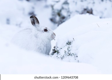 White mountain hare sitting on snow in the cairngorms of Scotland. These are wild mountain hares and are native to the British Isles.  In winter season they change colour to white to match the snow
