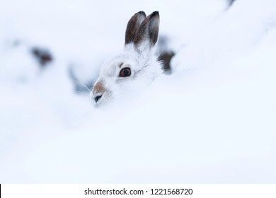 White mountain hare sitting on snow in the cairngorms of Scotland. Mountain hares are native to the British Isles.  During winter season they change colour to white to match the snow for cover