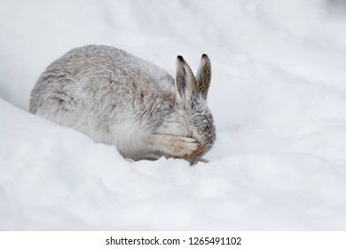 White mountain hare sitting on snow in the cairngorms of Scotland. Wild mountain hares are native to the British Isles.Hare change their fur colour, white in winter and brown during summer.