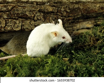 White Mouse, mus musculus, Adult standing on Moss