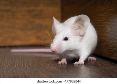 243.798 hình ảnh về con chuột bạch đẹp ngộ nghĩnh, đáng yêu nhất