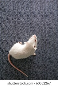 white mouse sitting on a blurred grey background