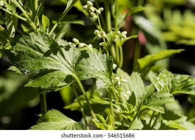 White mugwort (Artemisia lactiflora)
