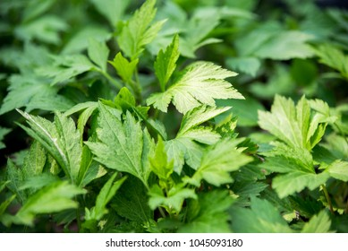 White mugwort (Artemisia lactiflora, Guizhou) has medicinal properties. Fresh green leaves texture of Mugwort plant. White mugwort green leaf background.