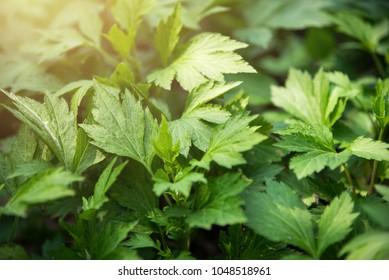 White mugwort (Artemisia lactiflora, Guizhou) has medicinal properties. Fresh green leaves texture of Mugwort plant. White mugwort green leaf background.