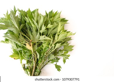 White Mugwort or Ghostplant on a white background