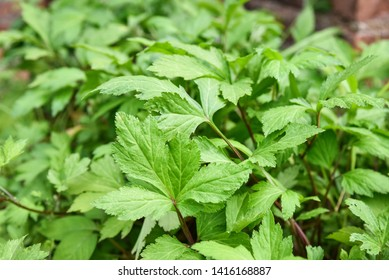 White mugwort leaves green for herb vegetable food nature in the garden / Artemisia lactiflora