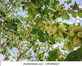 White Mulberries on branch tree (Morus alba) during may in a garden in Iran.Unripe and ripe  white mulberry on branches with blue sky background.  Bunches of  white mulberry in springtime. Down view