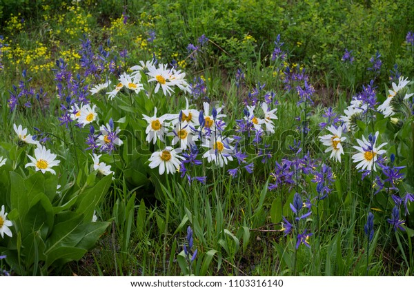 White Mules Ears and Camas Lilies