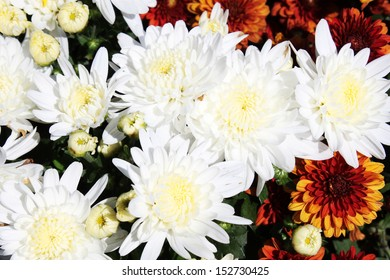 Potted mums images stock photos vectors shutterstock white mums flowers mightylinksfo