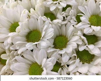 Mums flower images stock photos vectors shutterstock white mums flowers mightylinksfo