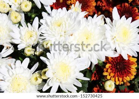 White Mums Flowers Stock Photo Edit Now 152730425 Shutterstock
