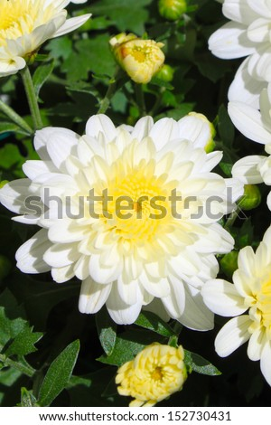 White mums flowers stock photo edit now 152730431 shutterstock white mums flowers mightylinksfo