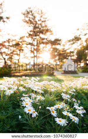 White Mums Flowers Chrysanthemum Japonense Garden Stock Photo Edit