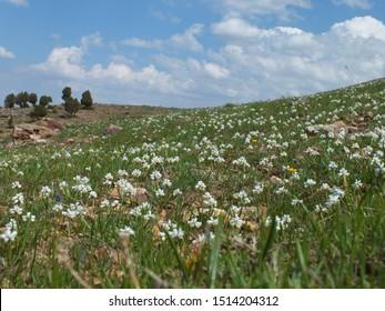 White muscari armeniacum or grape hyacinth in spring garden