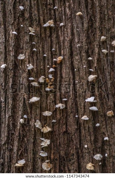 White mushrooms on the birch trunk, in the deep forest