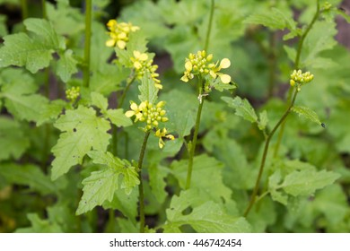 White mustard (Sinapis alba). It provides a spice plant one of the raw materials of the mustard condiment.