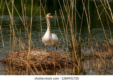 White mute swan (Cygnus olor) while hatching the eggs in the nest made of reeds