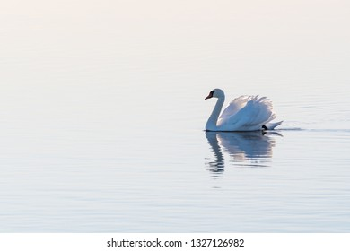 White Mute swan, Cygnus olor, gliding with gracefulness and dignity by a bright seamless background in an absolutely calm water