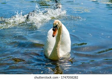 White (mute) swan (Cygnus olor) on a pond