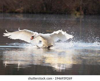 A white mute swan (Cygnus olor) at sunrise with its wings outstretched as it lands on a lake. March 2021, Germany