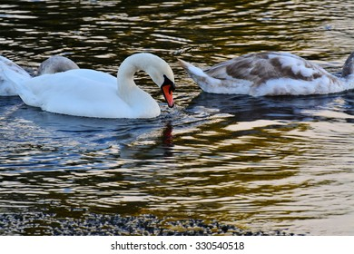 White mute swan (Cygnus olor) gracefully gliding on the river at sunset.