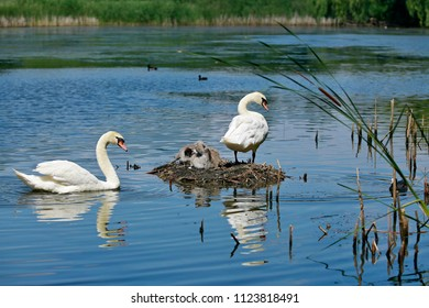 White mute swan family, a pair of adults in a blue lake, one swimming, one standing on nest with two young offsprings, sunny summer day, reflection in water