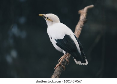 White Myna or Black Winged Myna (Acridotheres Melanopterus) on the branch. beautiful white bird from Indonesia.