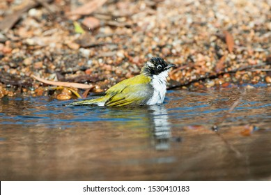 White napped Honey-eater, splashing and shaking wings to get wet in a shallow pool, The white-naped honey-eater is a passerine bird of the honey-eater family Meliphagidae.