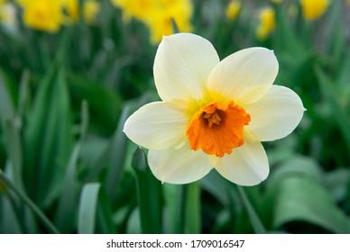 White Narcissus Flower On Flowerbed In Garden