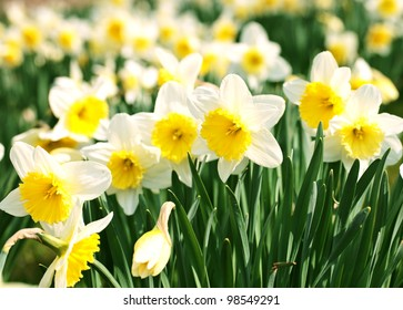 White narcissus in a group growing in a field