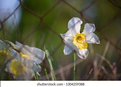 White narcissus (Narcissus poeticus)