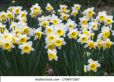 White narcissus with a yellow core bloom in the garden in April. A large field of narcissus. Spring white and yellow flowers.