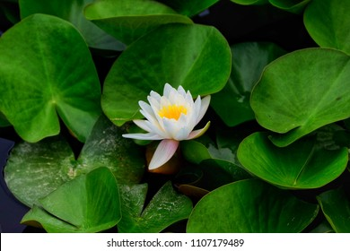 White nenuphar with green leaves