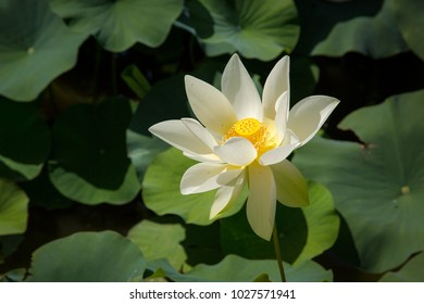 white nenuphar on a lake