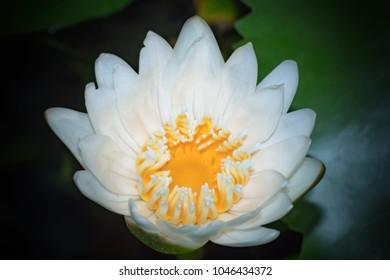 White nenuphar on the pond