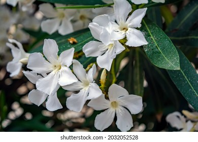 White Nerium oleander flowers against natural green background. Romance flower card. Natural background.