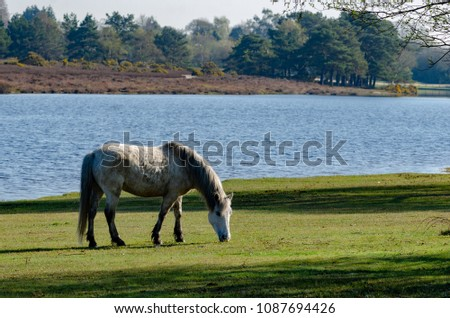 A white new forest pony near Hatchet Pond in the New Forest National Park