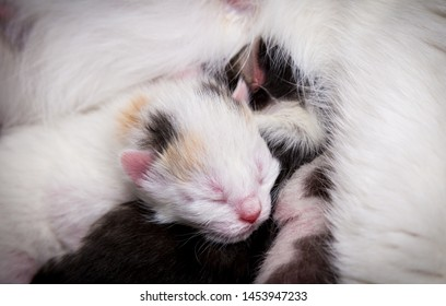 White newborn kitten on his mother, closeup