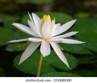 White night blooming water lily nymphaea flower on natural background - Shutterstock ID 1910080300