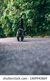 White nosed coati founded in the road to Bajos del Toro, Costa Rica. Wild animals are everywhere in Costa Rica.