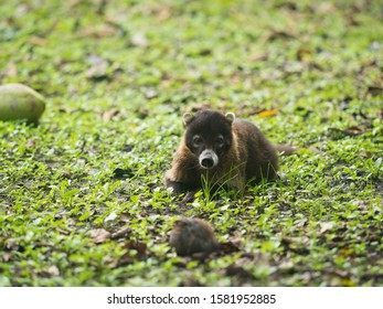 white nosed coati look straight to the camera as it lays on the ground making eye contact