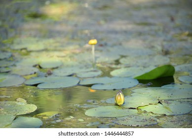 White Nymphaea (Nymphaea alba ) is a aquatic plant of the water lily, It is a perennial, ornamental, endangered aquatic herb. Also known as dress flower, Egyptian lotus