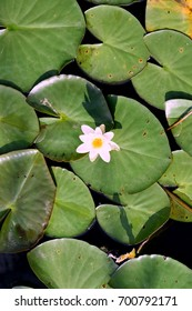 White Nymphaea alba, also known as the European white water lily, white water rose or white nenuphar, an aquatic flowering plant of the family Nymphaeaceae. Seen from top