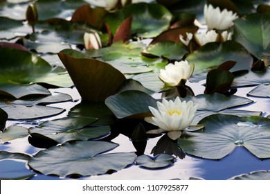 White Nymphaea (Nymphaea alba L.) is a aquatic plant of the water lily, It is a perennial, ornamental, endangered aquatic herb.