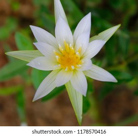 White Nymphaea (Nymphaea alba L.) is a aquatic plant of the water lily, It is a perennial, ornamental, endangered aquatic herb. Also known as dress flower, Egyptian lotus,